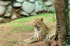 Leopard & x28; Panthera Pardus & x29; lying on the ground. South Asia leopard & x28;Panthera Pardus& x29; resting on ground in nature stock photography