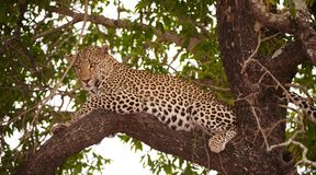 Leopard (Panthera pardus) lying on the tree Royalty Free Stock Photography