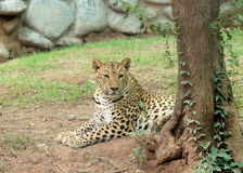 Leopard - Panthera Pardus - lying under the  tree in the nature habitatat Stock Image