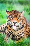 Leopard, Panthera Royalty Free Stock Image