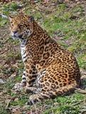 Leopard - Panthera pardus Royalty Free Stock Image