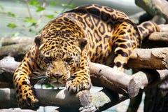 Wild animal. Feline. Leopard. Wild animal. Feline. Powerful leopard, in resting time royalty free stock photos