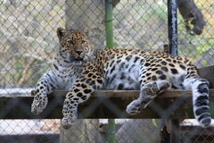 Leopard Panthera pardus. Leopard resting on ledge in zoo habitat Stock Photo