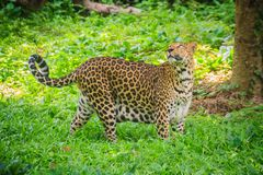Leopard (Panthera pardus) is running on the green grass in the g Royalty Free Stock Image