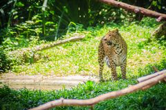 Leopard (Panthera pardus) is running on the green grass in the g Stock Photos