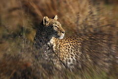 Leopard (Panthera pardus) - Savuti -Botswana Royalty Free Stock Photos