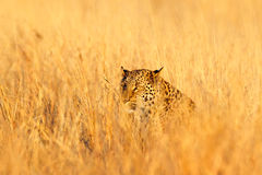Leopard, Panthera pardus shortidgei, hidden head portrait in the nice orange grass,. Big wild cat in the nature habitat, sunny day in the savannah, Hwange Stock Photo