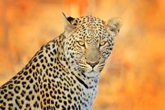 Leopard, Panthera pardus shortidgei, hidden portrait in the nice yellow grass. Big wild cat in the nature habitat, Hwange NP, Zimb. Abwe. Wildlife scene form royalty free stock images