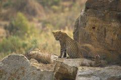 Leopard (Panthera pardus) sitting royalty free stock image