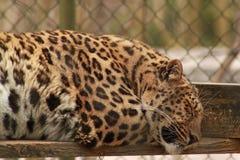 Leopard Panthera pardus Royalty Free Stock Photos