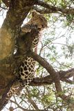 The leopard Panthera pardus in Serengeti ecosystem. The leopard Panthera pardus,  species in the genus Panthera, a member of the Felidae in a tree in Serengeti Stock Image