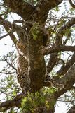 The leopard Panthera pardus in Serengeti ecosystem. The leopard Panthera pardus,  species in the genus Panthera, a member of the Felidae in a tree in Serengeti Royalty Free Stock Photo
