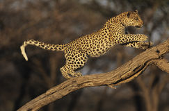 Leopard (Panthera Pardus) standing on branch Royalty Free Stock Photo