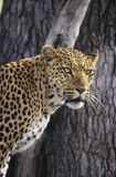 Leopard (Panthera Pardus) standing beside tree Royalty Free Stock Photo