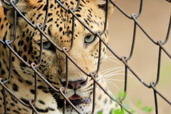 Leopard & x28;Panthera Pardus& x29; staring eyes cage portrait. Leopard & x28;Panthera Pardus& x29; staring outside cage portrait Royalty Free Stock Photos