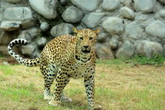 Leopard & x28;Panthera Pardus& x29; staring portrait in nature. Leopard & x28;Panthera Pardus& x29; staring and resting in action Stock Photography