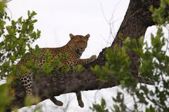 Leopard (Panthera pardus) Stock Image