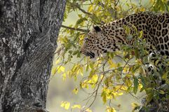 Leopard (Panthera pardus) in tree. Royalty Free Stock Image
