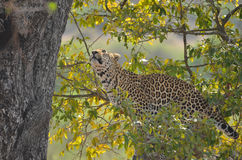 Leopard (Panthera pardus) in tree. Royalty Free Stock Photography