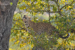 Leopard (Panthera pardus) in tree. Stock Images