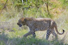 Leopard (Panthera pardus). Royalty Free Stock Image