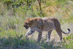 Leopard (Panthera pardus). Stock Photos