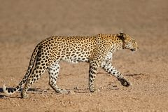 Leopard walking - Kalahari desert stock photography