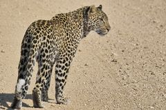Leopard (Panthera pardus) walking Royalty Free Stock Photos