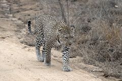 Leopard (Panthera pardus) Stock Images