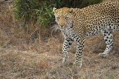 Leopard (Panthera pardus) Royalty Free Stock Photos