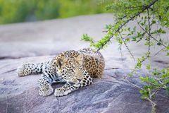 Leopard (Panthera pardus) walking on a rock Royalty Free Stock Images