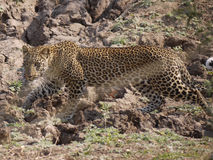 Leopard. (Panthera pardus) in Zambia Stock Photos