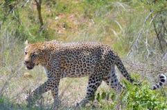 Leopard (Pantherapardus) Fotografering för Bildbyråer