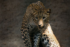 leopard pardus panthera Στοκ Φωτογραφίες