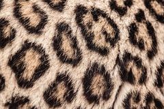Leopard pattern. Real Leopard pattern or texture or background or skin Stock Photography
