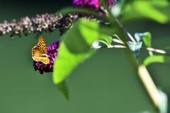 Leopard pattern  Butterfly. Landed on purple flower Stock Photography