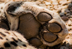 Leopard Paw. A Detailed shot of a leopards soft paw Stock Images