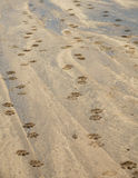 Leopard pawprints over Kidepo river in Uganda Stock Photo