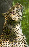 Leopard at Peace. A leopard smells the air in relaxation and peace as it rests in the sun Royalty Free Stock Photo