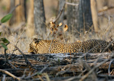 Leopard in Pench National Park Stock Photo