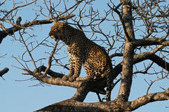 Leopard perches in a tree. Leopard (Panthera pardus) photographed in Ngala game preserve, South Africa, perching in a tree Royalty Free Stock Images
