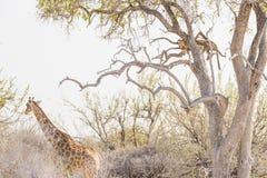 Leopard perching on Acacia tree branch against white sky. Giraffe walking undisturbed. Wildlife safari in the Etosha National Park Royalty Free Stock Photography