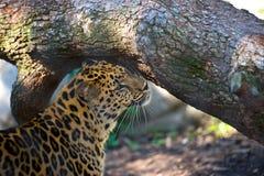Leopard-Pflegen Lizenzfreie Stockbilder