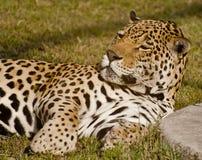 A lazy leopard Stock Image
