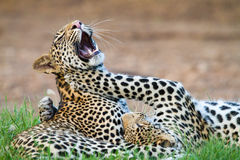 Leopard play Stock Photo