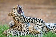 Leopard play Stock Photo