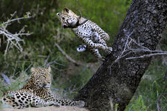 Leopard playing with banded mongoose Royalty Free Stock Photography