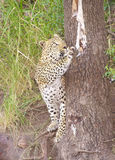 Leopard playing with skin. Leopard (Panthera pardus) playing with animal skin hanging from the tree in South Africa Stock Photos