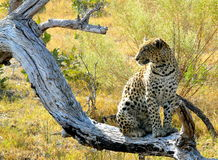 Lonely female leopard waits quiet over a dead tree's branch looking for her pray in Pom-Pom Island private game reserve, Royalty Free Stock Photos