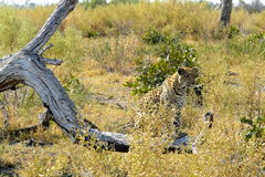 Leopard in Pom-Pom Island, Okavango delta, Botswana, Africa Stock Photos